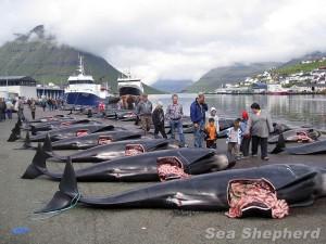 Sea Shepherd - Massacre de cétacés au Danemarj