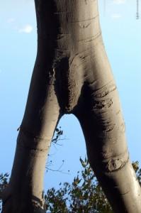 arbre masculin