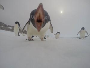 Ceci est un manchot. Pas un pingouin, bordel !