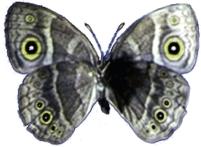 Aile de papillon