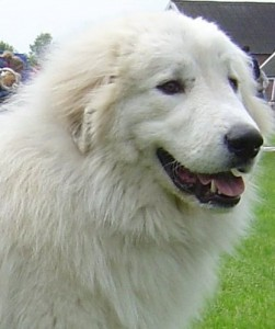 chien de troupeau: le patou